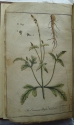 Plate showing the herb vervain